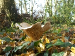 Wood Blewit in Vicarage Grove ancient woodland