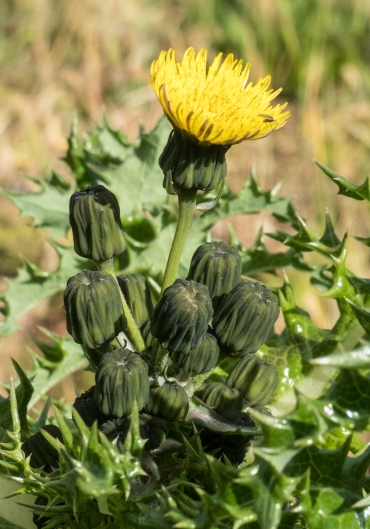 Smooth Sowthistle